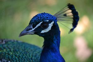 Paon - Peacock by cendredelune