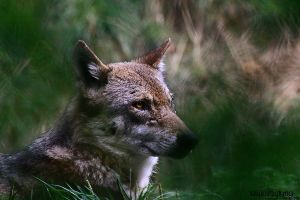 .:Grey Wolf.::.Leaf Green II:. by WhiteSpiritWolf
