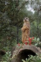 Meerkat on the Watch by Netzlemming