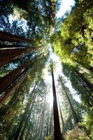 CA redwoods by Manyroomsphotography