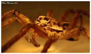 Wolf Spider Suprise by BreeSpawn