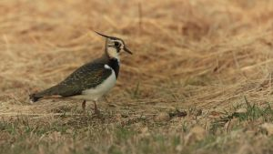 ... lapwing No.2 ... by Ulliart
