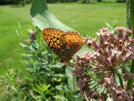 Great Spangled Fritillary by Critterinthedryer