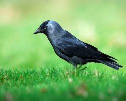 Jackdaw by noelholland