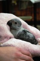 Baby African Grey 3 weeks old by The-GoblinQueen