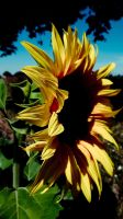 sunflower IV by mytruelies