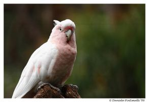 Major Mitchells Cockatoo by TVD-Photography