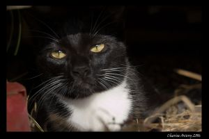 Mr Black Cat by ACDCpincushion