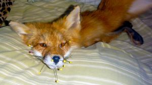 Yearling Red Fox by Tricksters-Taxidermy