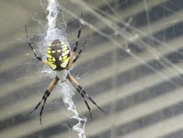 Argiope aurantia by Toneproductions1