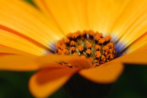 Orange Daisy by FeralWhippet