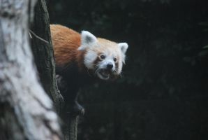 red panda 1.4 by meihua-stock