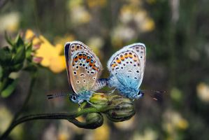 Common Blue's by Tobias-Kaos