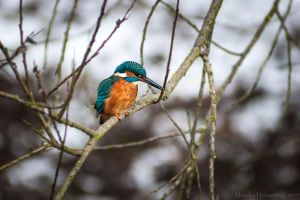 Uncommon Kingfisher by amrodel