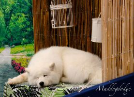 Sleepy Samoyed by maddogdodge