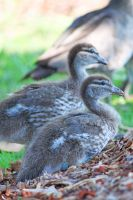 Duckling Stock by DigitalissSTOCK