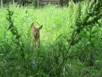 A Fawn in Tall Grass 4 by Windthin