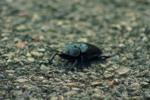 Beetle by bloodrosephotography