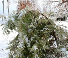 Forced to Bend - Ice Storm 2015 by CrystalMarineGallery