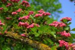 pink blossom tree--1 by cheah77
