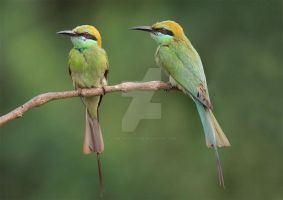 A lovely couple - Little-Green Bee-eaters by Jamie-MacArthur