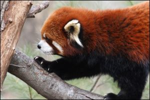 Red Panda by vivadawolf