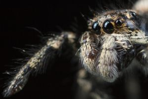 Cute Jumping Spider 5 by Alliec