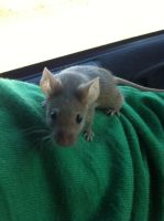 My pet mouse, Susie by forever--yours