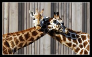 Mixed giraffes by floflo