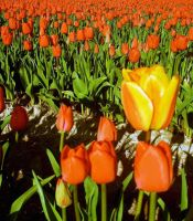 Orange Tulips by Photos-By-Michelle