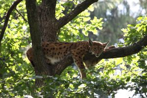 Lynx on the tree 4 by Tigerlover4