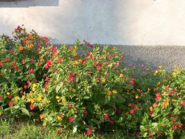 Some red and yellow flowers by batuffolo