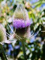 Thistle Flower by MadGardens