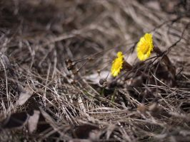 Coltsfoot by bitterologist
