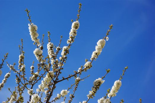 Blue sky, white flowers by Steleamaria