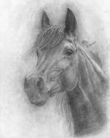 Arabian Horse Drawing by PigaLatte15