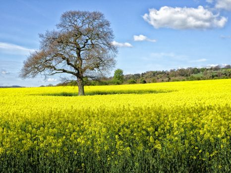 Rapeseed by omick