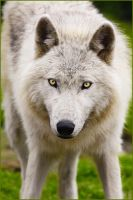 .:Watching you:. by WhiteSpiritWolf