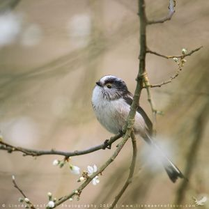 Long-tailed Tit by linneaphoto