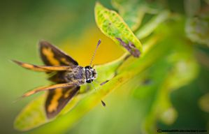 4 winged butterflies by saka50ft