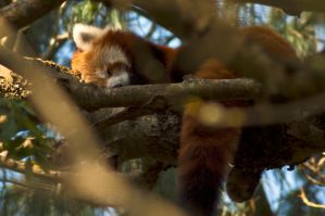 Sleeping Red Panda by Xs9nake