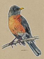 Birds 07 - American Robin by M-Everham