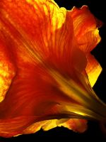 Amaryllis by Morning by seeing-the-dark