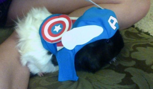 Captain Ameripig Avengers Guinea Pig by mch2020moehunt
