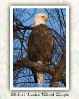 Silver Lake Bald Eagle by Merlinstouch