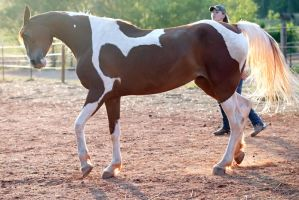 mad chestnut tobiano by venomxbaby