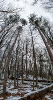 Tall Trees (stock)2January 14, 2013 by RustedScrapMetal