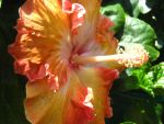 Going Steady Hibiscus II by Neriah-stock