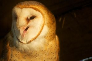 Barn Owl Yell by BlueFlamedPhoenix