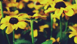 Black Eyed Susans by druideye